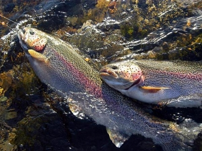 Rainbow Trouts
